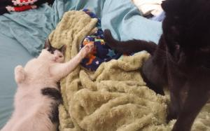 Black cat sitting up while the kitten, sprawled on her back, swipes at his tail.